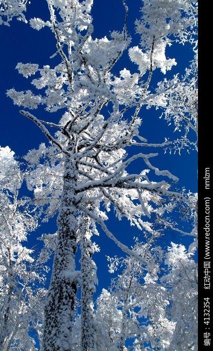 原创摄影图 自然风景 森林树林 挺拔的雪松  请您分享: 红动网提供