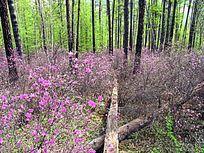 原始森林之春