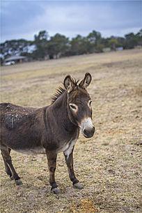 澳洲袋鼠岛农场上一只可爱的小毛驴
