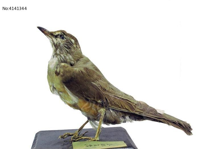 原创摄影图 动物植物 空中动物 白眉地鸫 标本