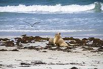 大海边上的海狮与海鸥