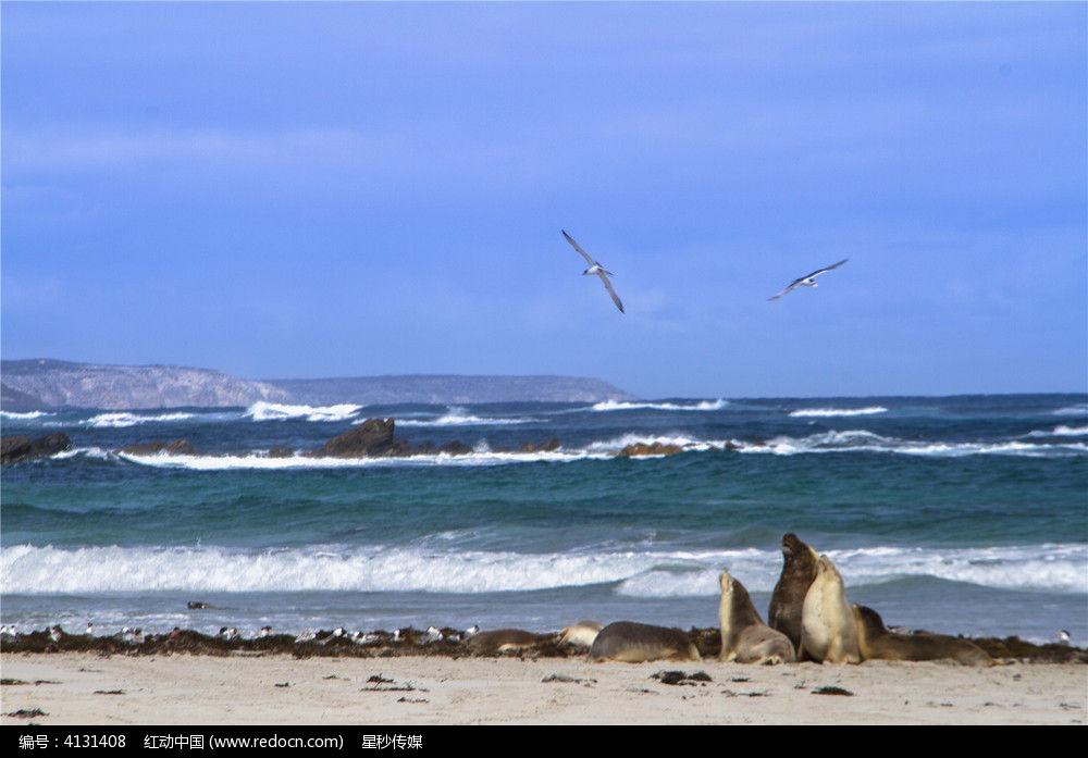 大海上飞翔的海鸥和海滩边上的海狮图片