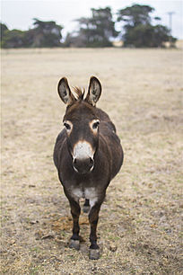 袋鼠岛农场里一只可爱的小毛驴