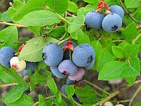 大兴安岭种植的蓝莓