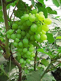大兴安岭种植的葡萄