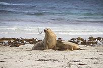 海岸上一群银鸥和两只海狮