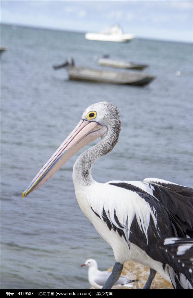海边的鹈鹕图片,高清大图_水中动物素材