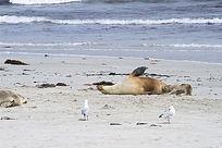 海滩上的海狮和银鸥