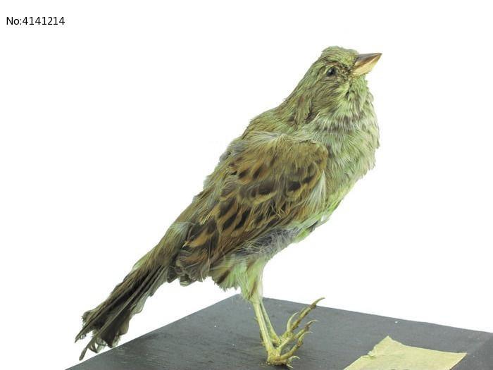 灰头鹀 标本图片,高清大图_空中动物素材