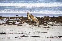 两只海狮打架