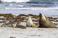 沙滩上的海狮