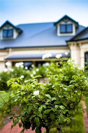 私人花园洋房前的玫瑰花