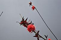 一朵红花俏枝头