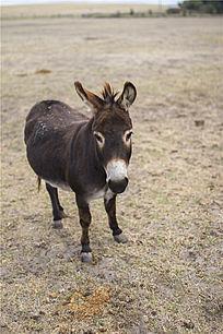 一只澳洲袋鼠岛农场上的小毛驴
