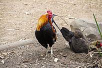 一只花公鸡和一只花母鸡
