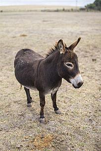 一只可爱的澳洲小毛驴