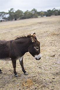 一只小毛驴