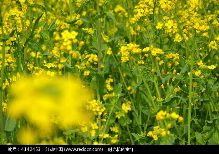 油菜花田图片