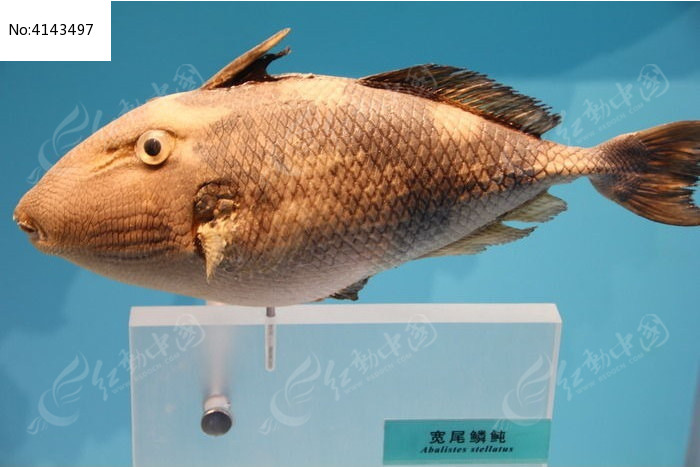 圆眼鱼图片