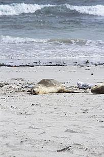 在海滩上休息的海狮