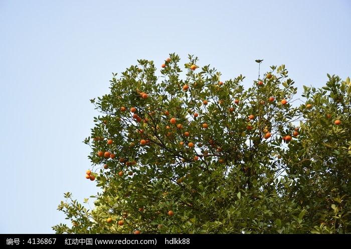 橘子树图片,高清大图_树木枝叶素材