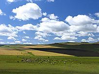 草原和农田间的牛群