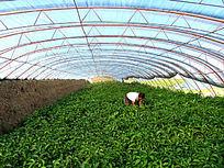 塑料大棚种植蔬菜
