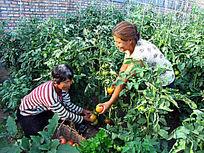 阳光温室蔬菜种植