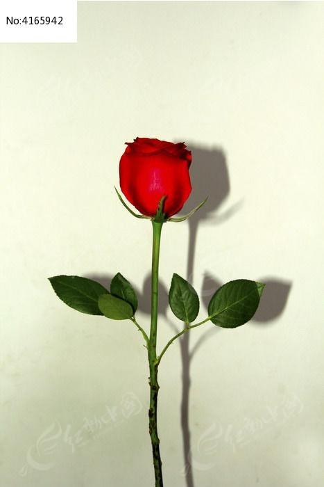 一枝玫瑰图片,高清大图