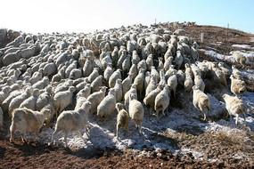 涌上山坡的羊群