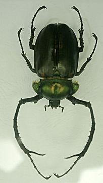 长臂金龟标本