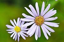 野生花卉马兰