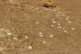 阿尔山林区山坡羊群
