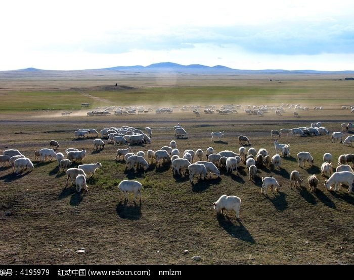 干旱草原羊群在觅食图片