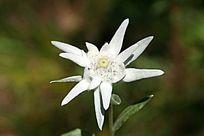 野生植物火绒草