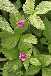 东方草莓的花朵