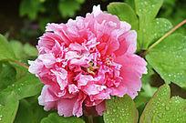 粉色的牡丹