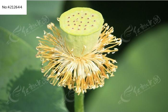 原创摄影图 动物植物 花卉花草 荷花的果实莲蓬  请您分享: 红动网