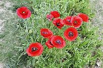 红花点缀春色