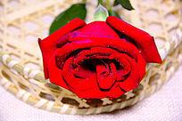 花蓝红玫瑰
