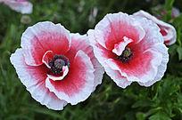 两朵白边小红花