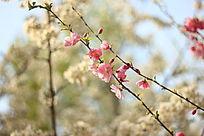 两枝樱花争春