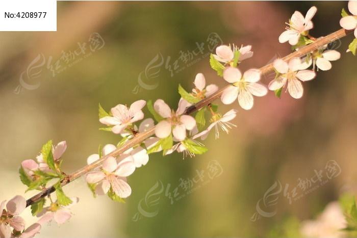 春天 桃花 梨花 杏花 樱花