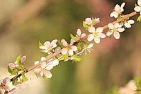 烈日下的桃花
