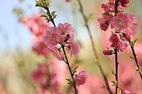 蜜蜂采樱花蜜