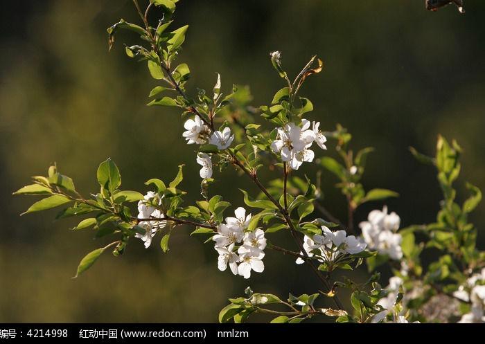 原创摄影图 动物植物 花卉花草 > 山丁子花朵图片  素材编号