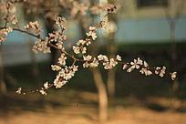 疏影横斜的杏花