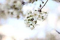 一簇烈日下的梨花