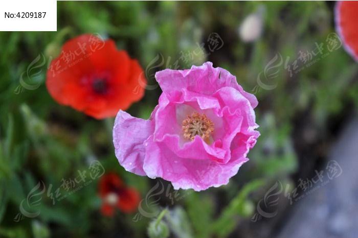 一朵紫色的小花图片,高清大图