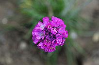 一朵紫色的绣球
